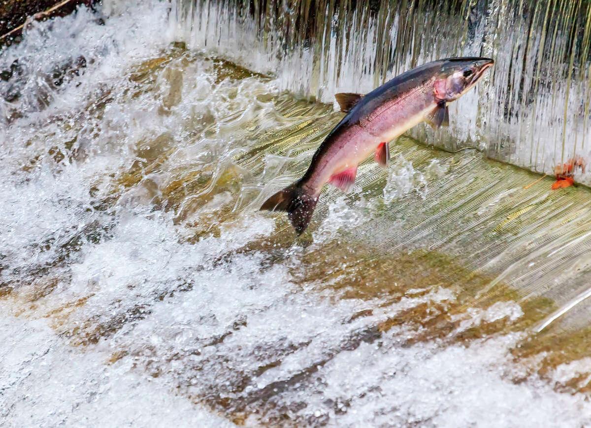 Report: Ten species of Wash. salmon not meeting recovery goals