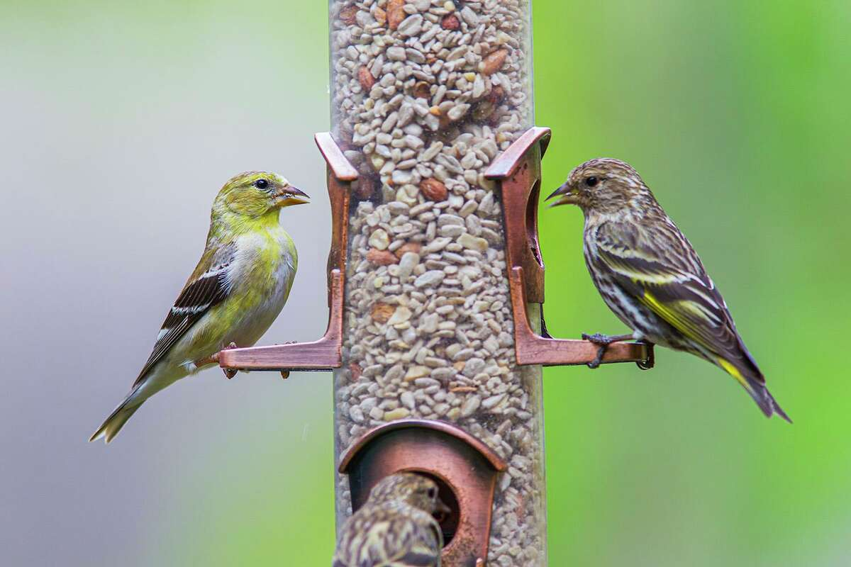Pine siskins, such as the bird on the right, will crowd around birdfeeders. Pine siskins are irregular winter visitors in Texas.
