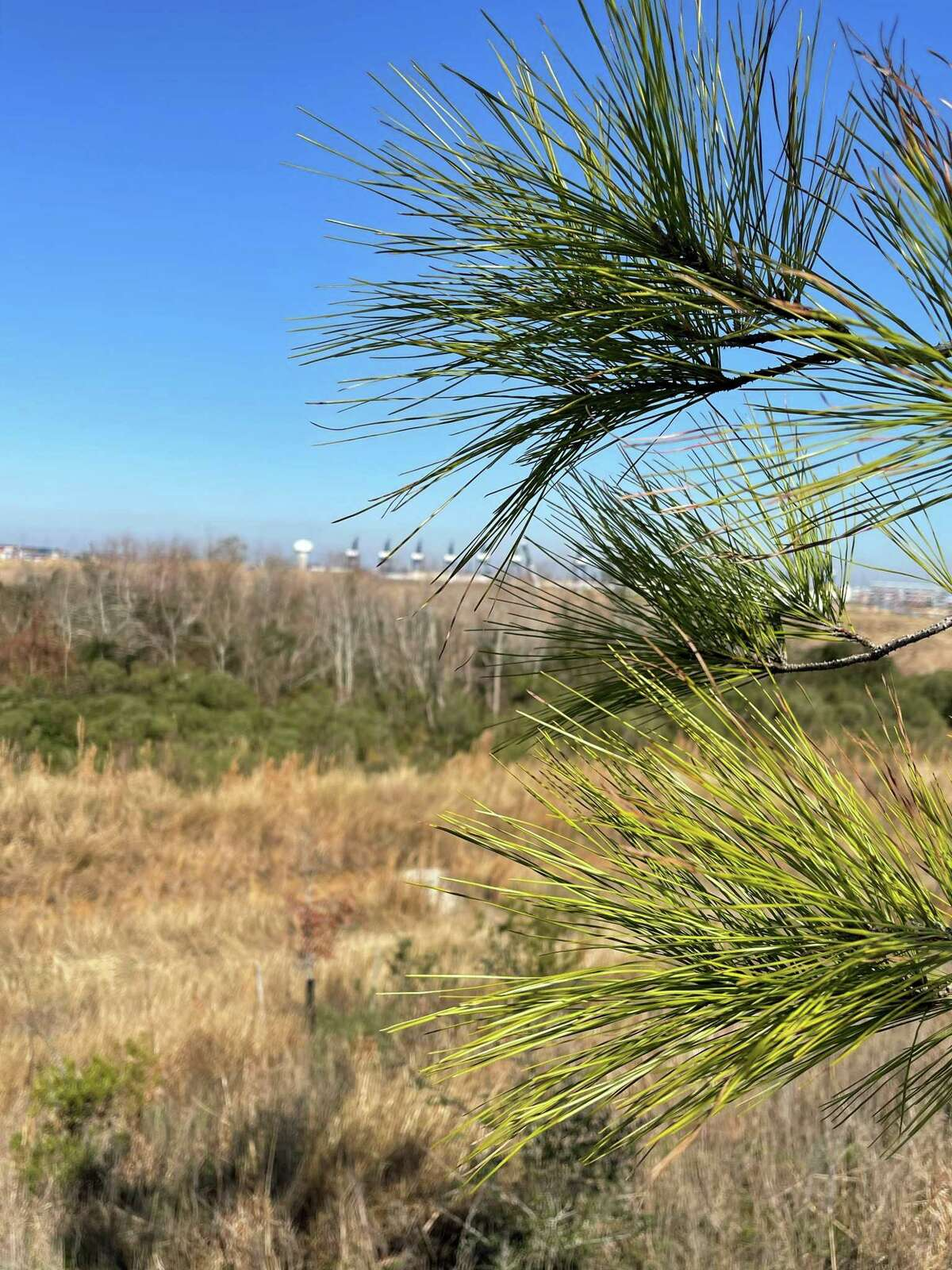 A view through a young loblolly pine, one of the designated 'super trees' planted by Houston Wilderness and its partners along the three-mile long, 30-foot high Bayport Berm, looking toward Port Houston's Bayport Container Terminal, on Wednesday, Jan. 13, 2021.