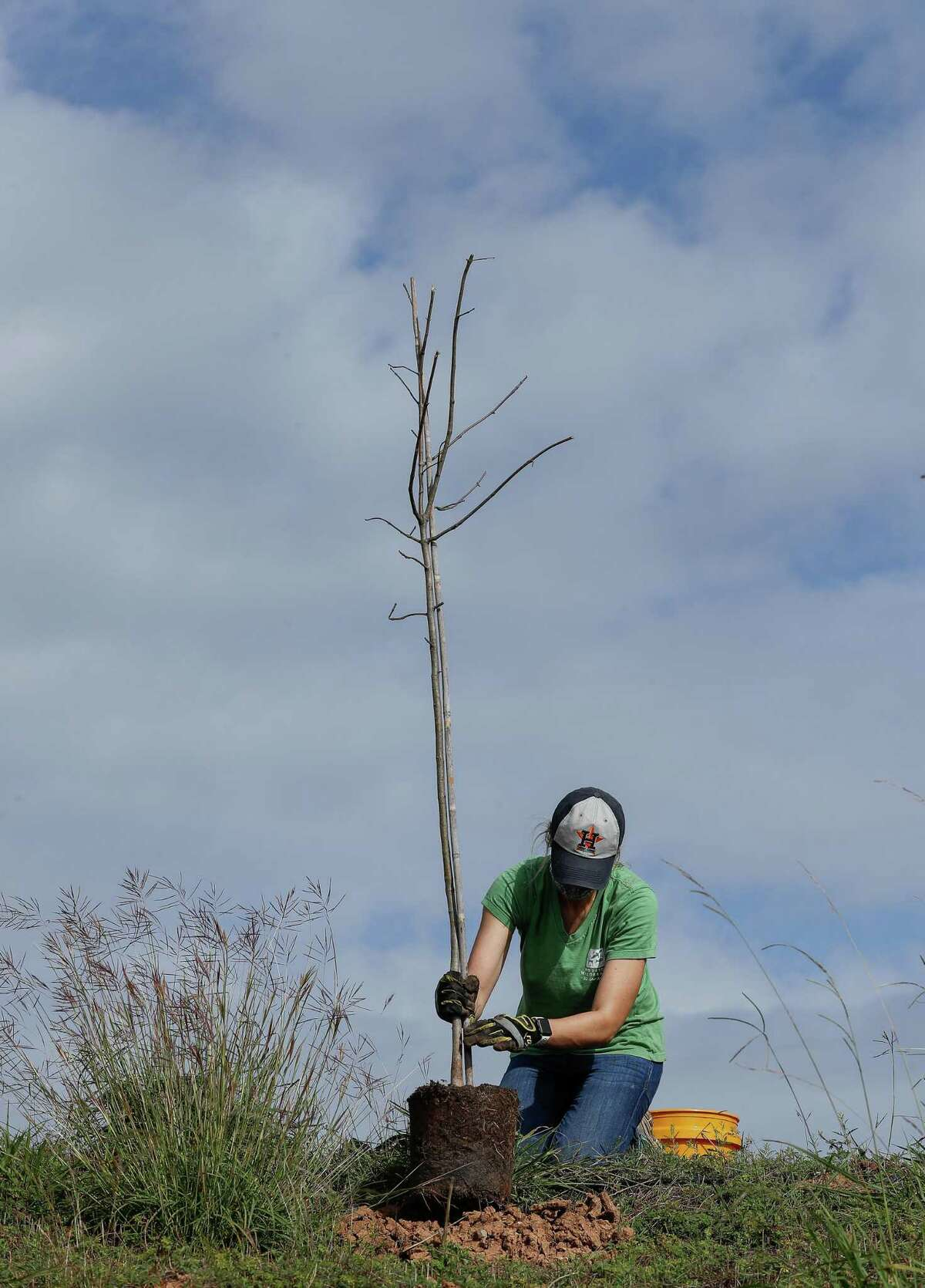 """Kim Philippi, with Houston Wilderness, plants one of 120 native """"Super Trees"""" at the Bayport Terminal Berm, to helpf concluding the planting of 1,500 trees there, on Friday, Nov. 20, 2020, in Seabrook, Texas. """"Super Trees"""" are trees with high rates of carbon absorption, flood mitigation, and greenhouse gas absorption. The effort is part of Houston Wilderness's Gulf Houston Regional Conservation Plan, which calls for a 4 percent increase in organic carbon absorption every year to benefit air quality and help reduce urban heat spikes in the region."""