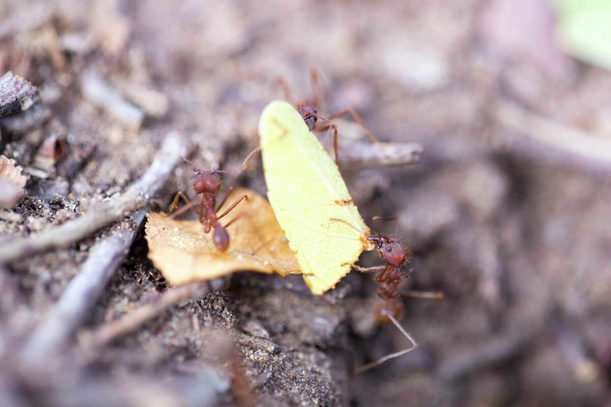 Texas leaf cutting ants' subterranean nests may be 15 or 20 feet deep, and they may contain 2 million ants. They are very hard to control.