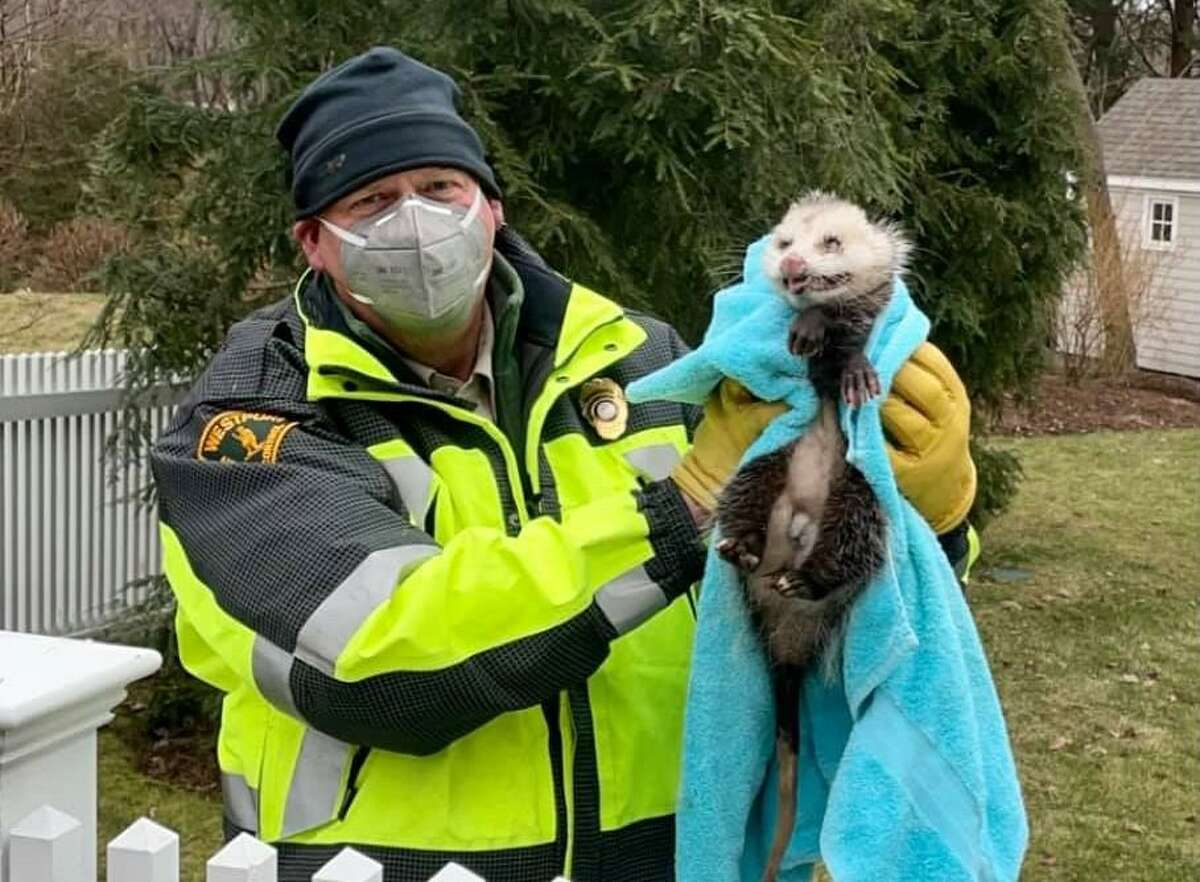 Westport/Weston Animal Control Officer Peter Reid poses with a possum he rescued.