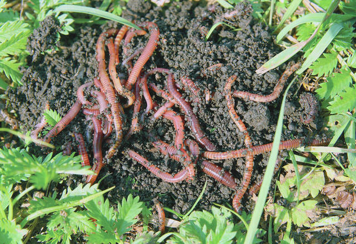 Red worms, often used as bait for fishing, are good for vermicomposting.