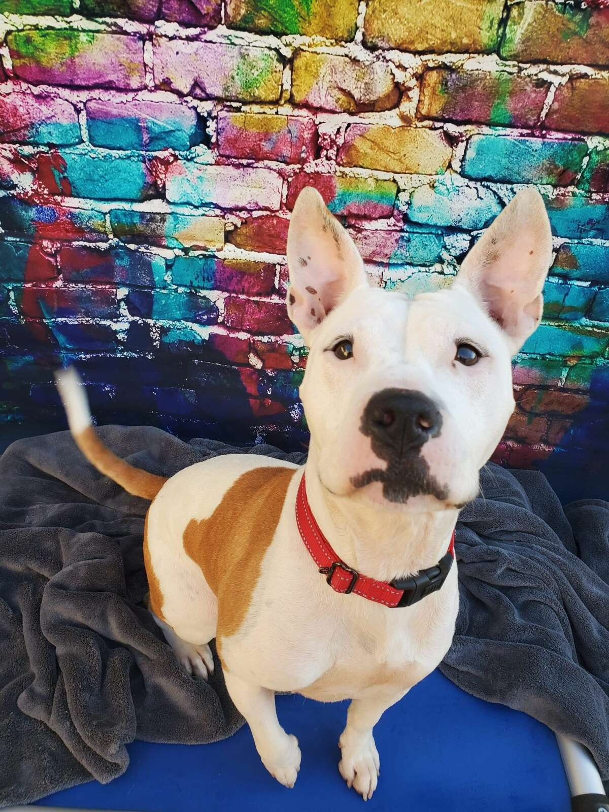 Lucy does not like to share her toys or food so her new family will need to work on home management for her issues. She is up for adoption at the Fulton County Regional SPCA.