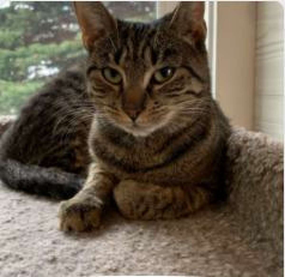 Patsy, a tabby cat, has cared for her kittens, and is now looking for a family of her own. She is available to be met by calling the ROAR Donofrio Family Animal Shelter, which is located at 45 South Street, in Ridgefield, at (203) 438-0158, for an appointment.