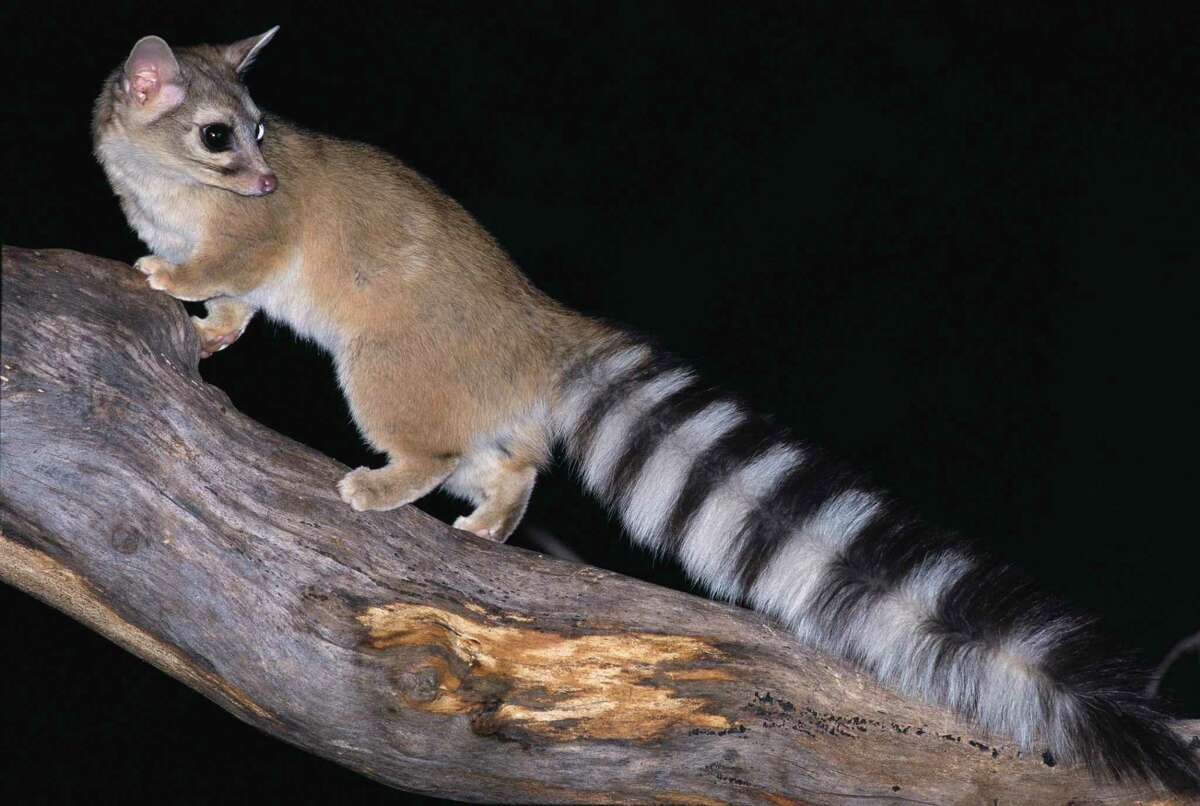The ringtail is a shy noctural mammal of the raccoon family. It's also being spotted a lot more in and around San Antonio.