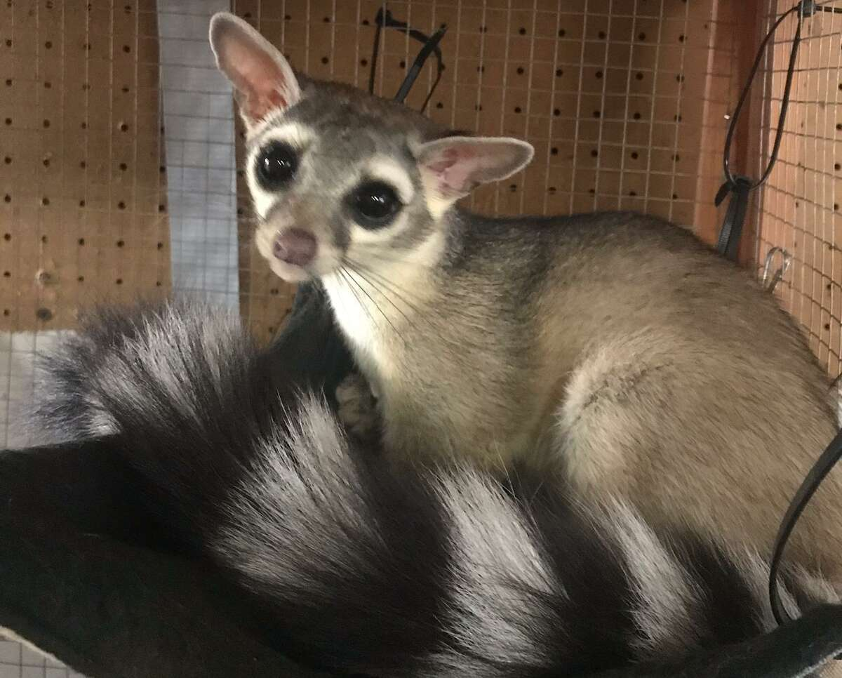 Finnick, a rescued ringtail in the cafe of Michelle Camara, owner of Southern Wildlife Rehab in Alamo Heights. Finnick lost a paw to a rat trap.