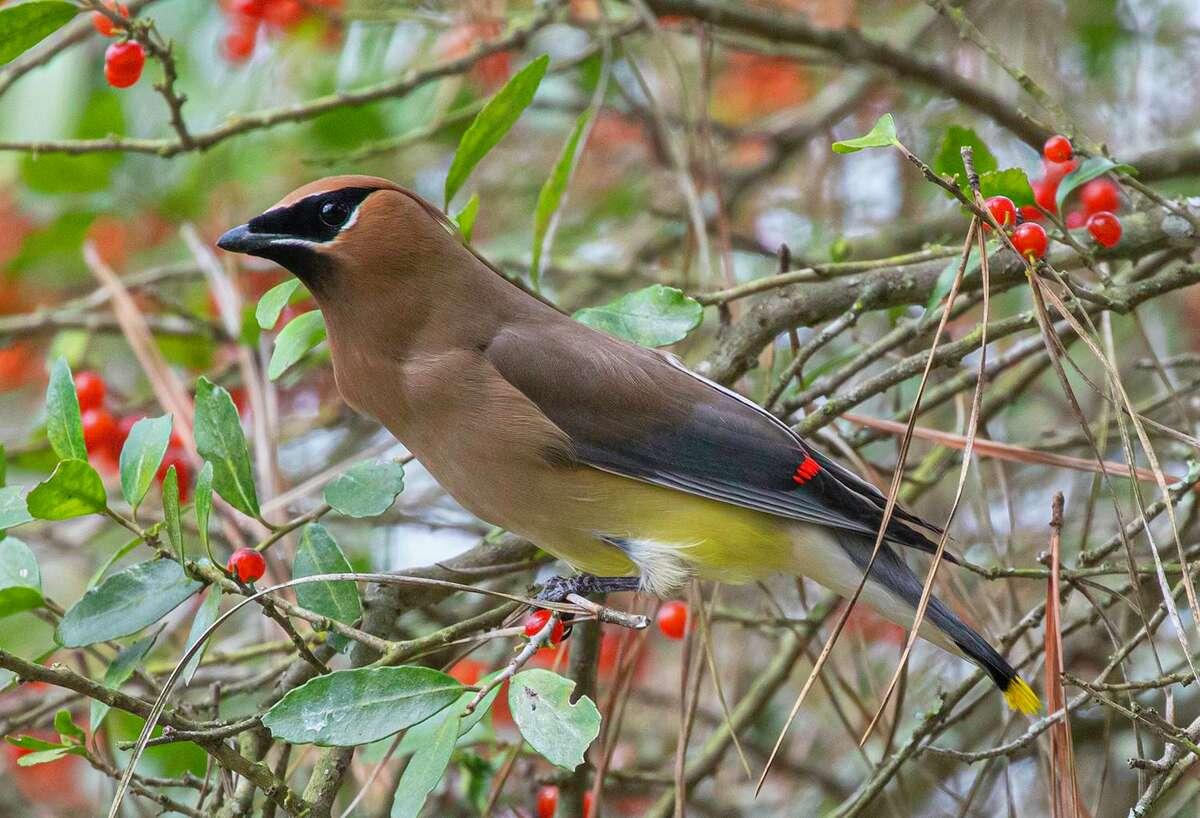 Winter migratory flocks of cedar waxwings are unpredictable in their choices of feeding locations.