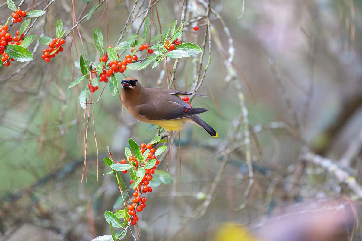 The digestive system of cedar waxwings processes nutrients from fruits and excretes seeds embedded in gooey globs deposited on cars and driveways.