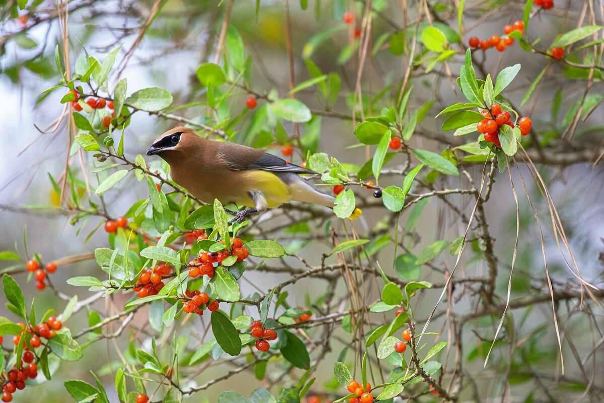 Cedar waxwing migratory flocks tend to follow the ripening of wild berries such as yaupons.