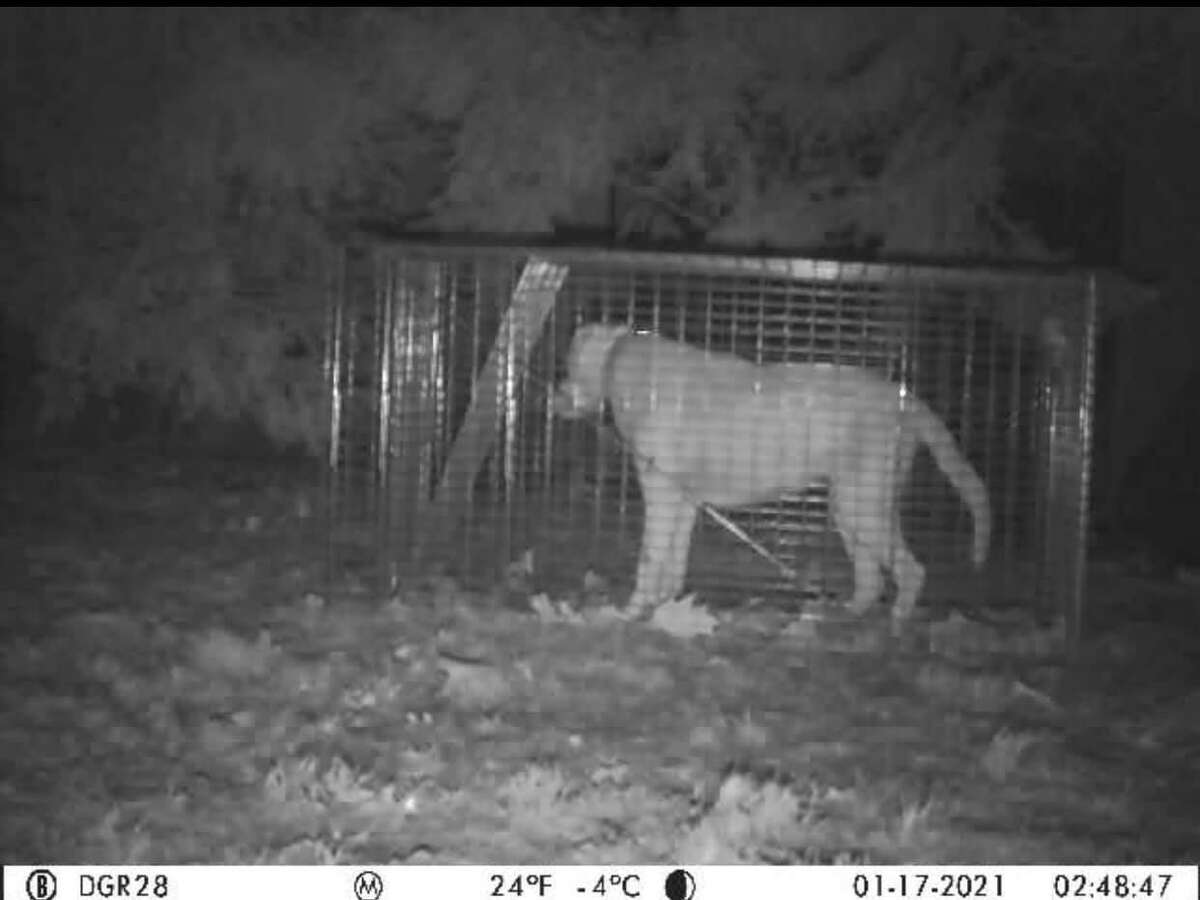 A camera shot from Lexi captured in the trap in the early hours of Jan. 17.