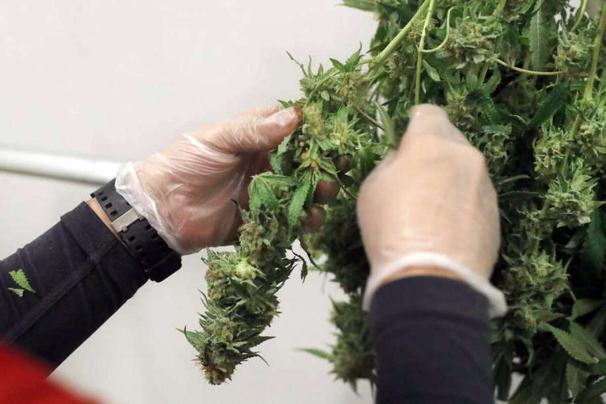 The cannabis leaf is trimmed from the stem and flower.