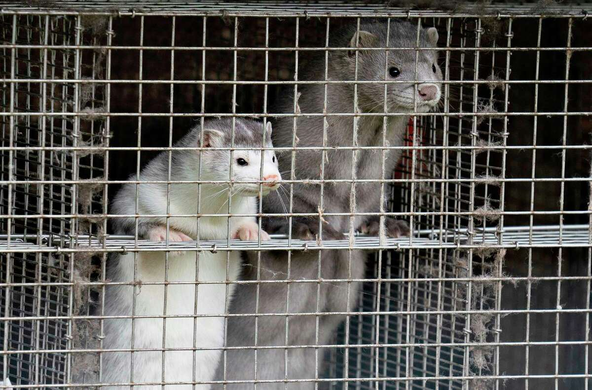 In this Dec. 6, 2012, file photo, minks look out of a cage at a fur farm in the village of Litusovo, northeast of Minsk, Belarus.  Domesticated animals, including dogs and cats, have tested positive for the coronavirus. Mink farms in the United States and Europe have become death camps, thousands upon thousands of animals have died from the disease, and millions more culled out of fear. A wild mink was found in December to have the virus, caught (not surprisingly) near an infected Utah mink farm. That single mink is the only known case of a COVID-positive wild animal, Runstadler and Sawatzki wrote: