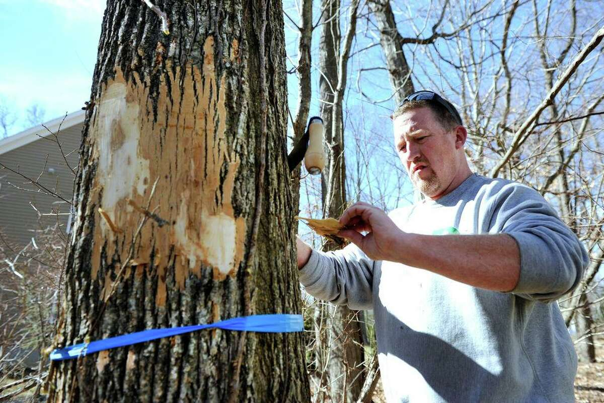 Matt Bartelme examines a ash tree infested with emerald ash borer, a tree-killing pest, at a Danbury home, Friday, March 11, 2016.