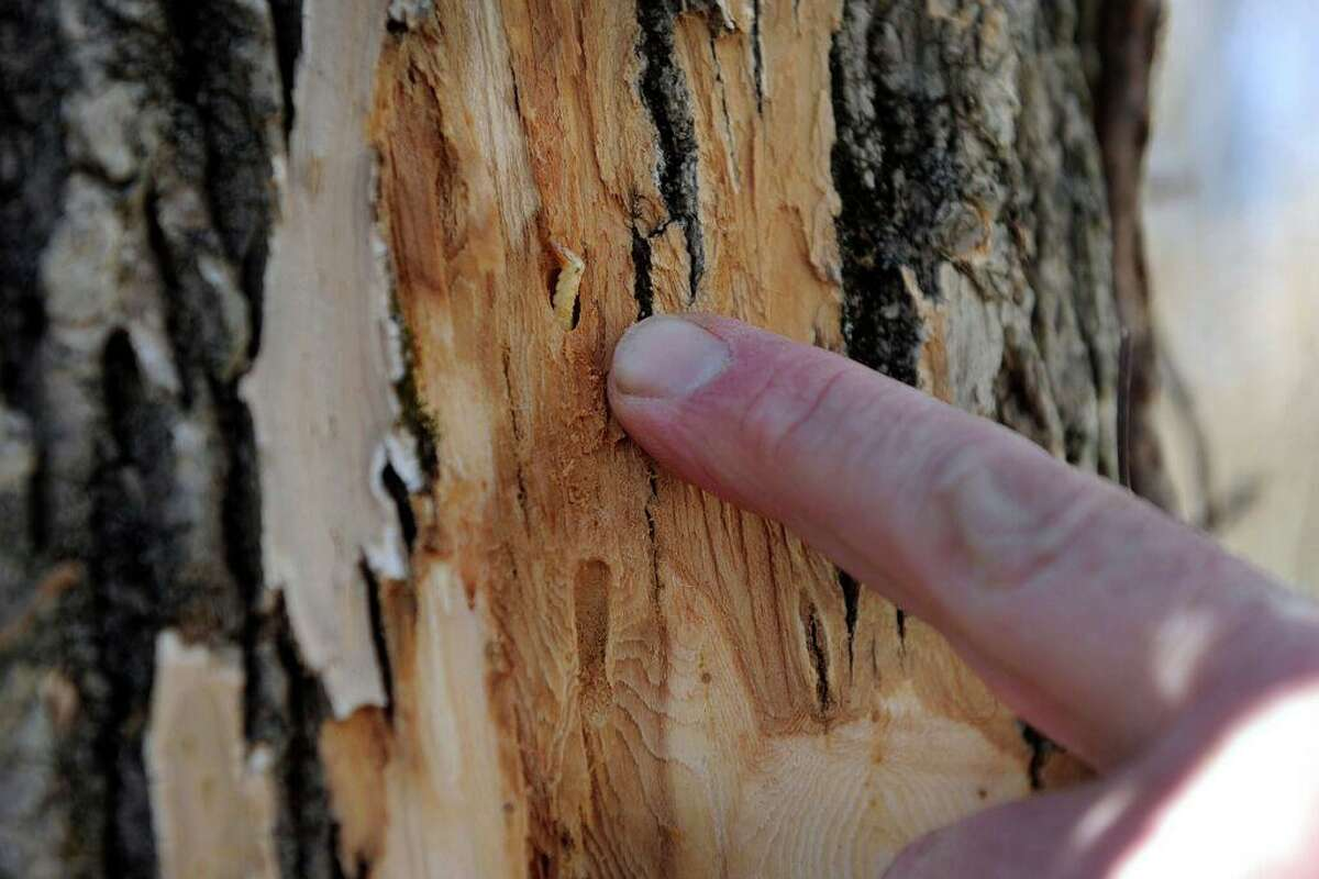 Matt Bartelme point to an emerald ash borer, a tree-killing pest, found on an ash tree at a Danbury home, Friday, March 11, 2016.