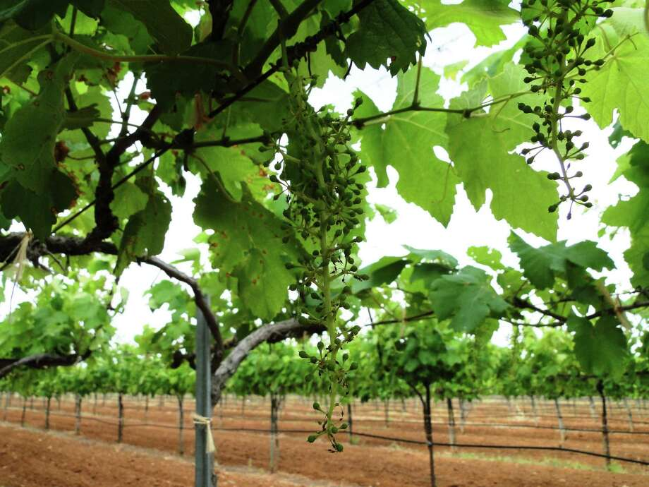 Tiny grapes hang on vines at Fall Creek Vineyards in Tow, Texas. Fall Creek Vineyards is one of Ron Saikowski's favorite wineries. Photo: Tracy Hobson Lehmann, STAFF / SAN ANTONIO EXPRESS-NEWS / SAN ANTONIO EXPRESS-NEWS