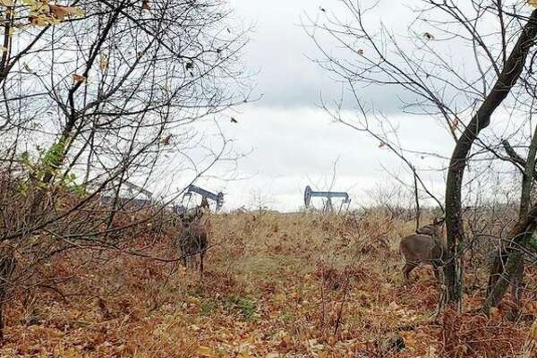 Agroup of deer in Manistee several days before opening of the 2020 firearm white-tailed deer hunting season. (File photo)