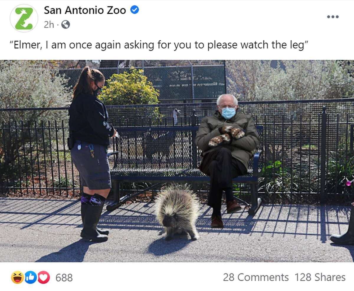 He went to the San Antonio Zoo, where his mittens may have safeguarded him from Elmer the porcupine's quills.