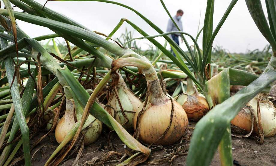 Onions in Edinburg, Texas Photo: Bob Owen, Staff-photographer / San Antonio Express-News / ©2020 San Antonio Express-News