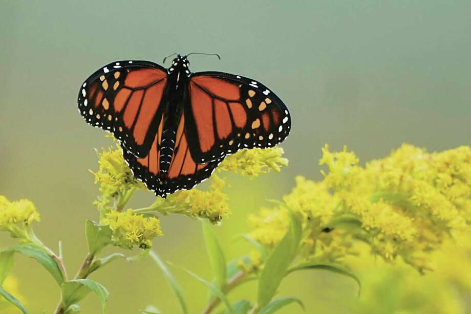 A Monarch butterfly pauses in a field of goldenrod last fall at the Flight 93 National Memorial in Shanksville, Pennsylvania. (AP Photo/Gene J. Puskar) / Copyright 2020 The Associated Press. All rights reserved
