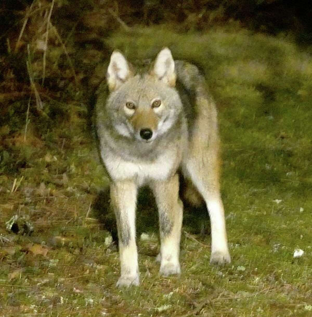 The coyote is often described as an opportunistic animal.
