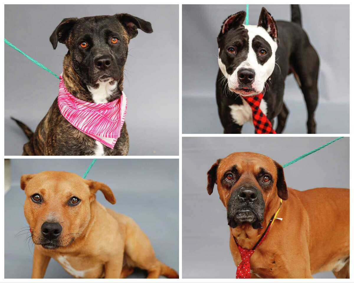 Collette (top, left: A67046) is a 2-year-old, female brindle Labrador retriever mix; McClane (top, right: A566018) is a 5-year-old, male Pit Bull mix; Nani (bottom, left: A566420) is a 3-year-old, female Labrador Retriever mix; and Billy Bob (A567029) is a 10-year-old, male Boxer mix available for adoption from Harris County Pets. Photographed in Houston, Thursday, Jan. 21, 2021.