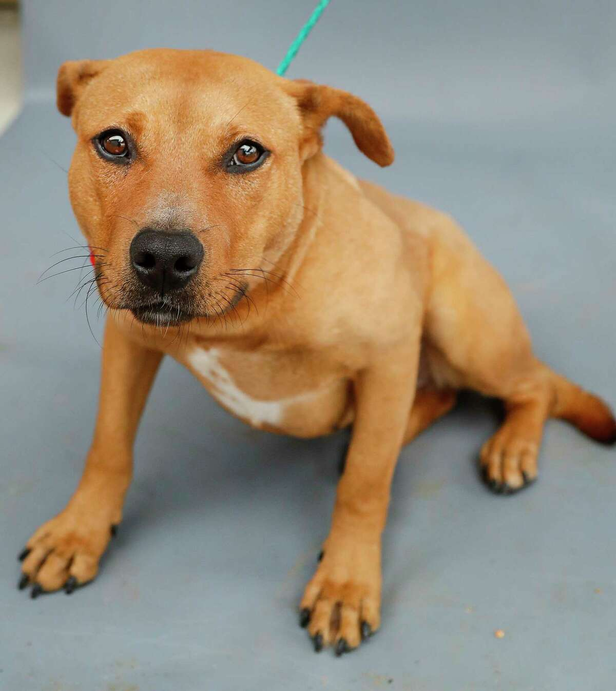 Nani (A566420) is a 3-year-old, female Labrador Retriever mix available for adoption from Harris County Pets. Nani was brought into the shelter December 28 by animal control officers who discovered Nani and three other dogs abandoned and chained to trees and other structures in a wooded homeless encampment in Spring. After a 10-day court-ordered appeal by a Justice of the Peace, there was no one to claim ownership of the dogs, and thus ownership was awarded to Harris County Public Health to allow the animals to be adopted. All four have been removed from medical quarantine, and two of those dogs have already been adopted. Nani is very people-friendly but shy.