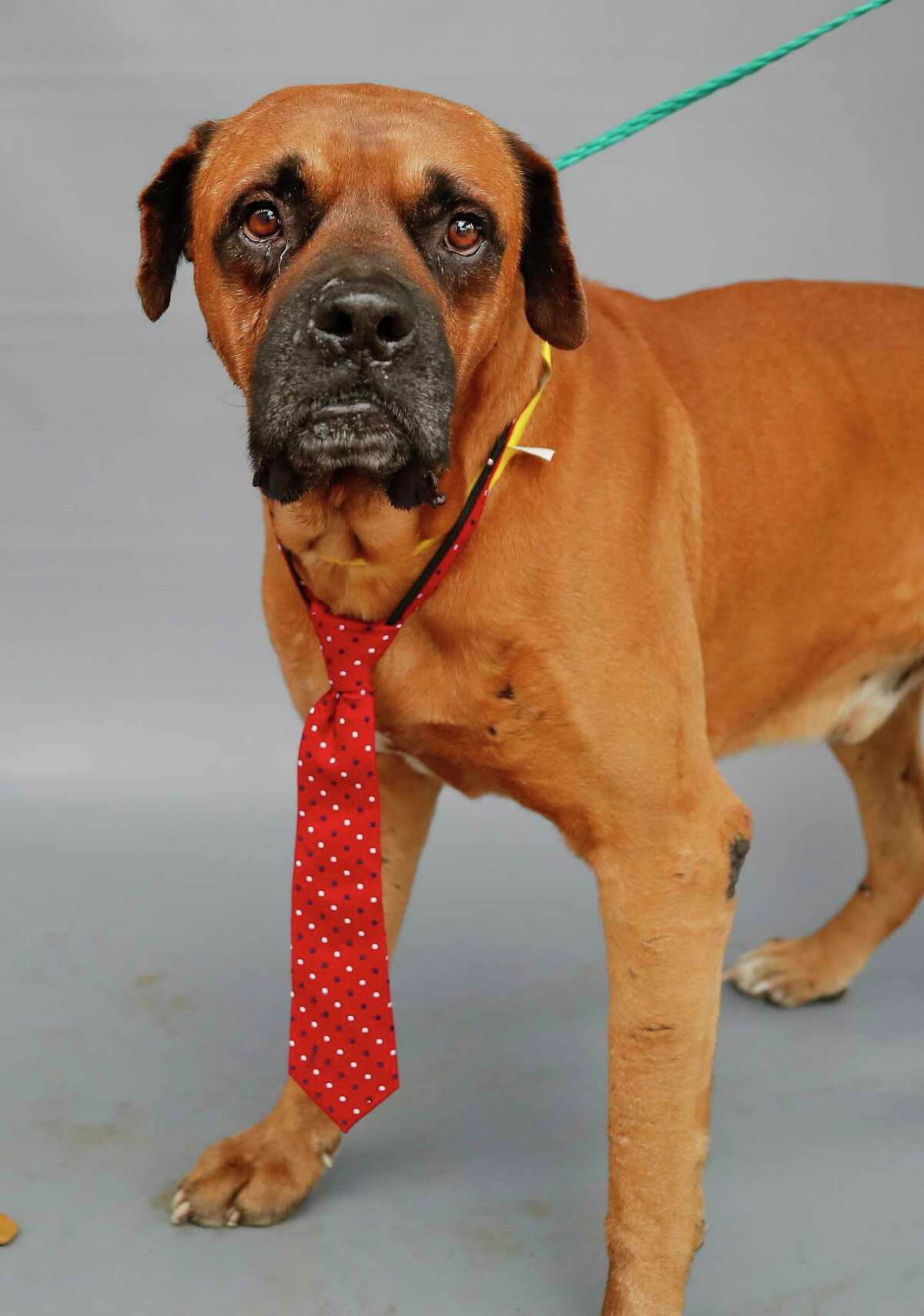 Billy Bob (A567029) is a 10-year-old, male Boxer mix available for adoption from Harris County Pets. Billy Bob weighs in at 83 pounds and is the oldest dog at Harris County Pets at the moment. Staff describe him as a
