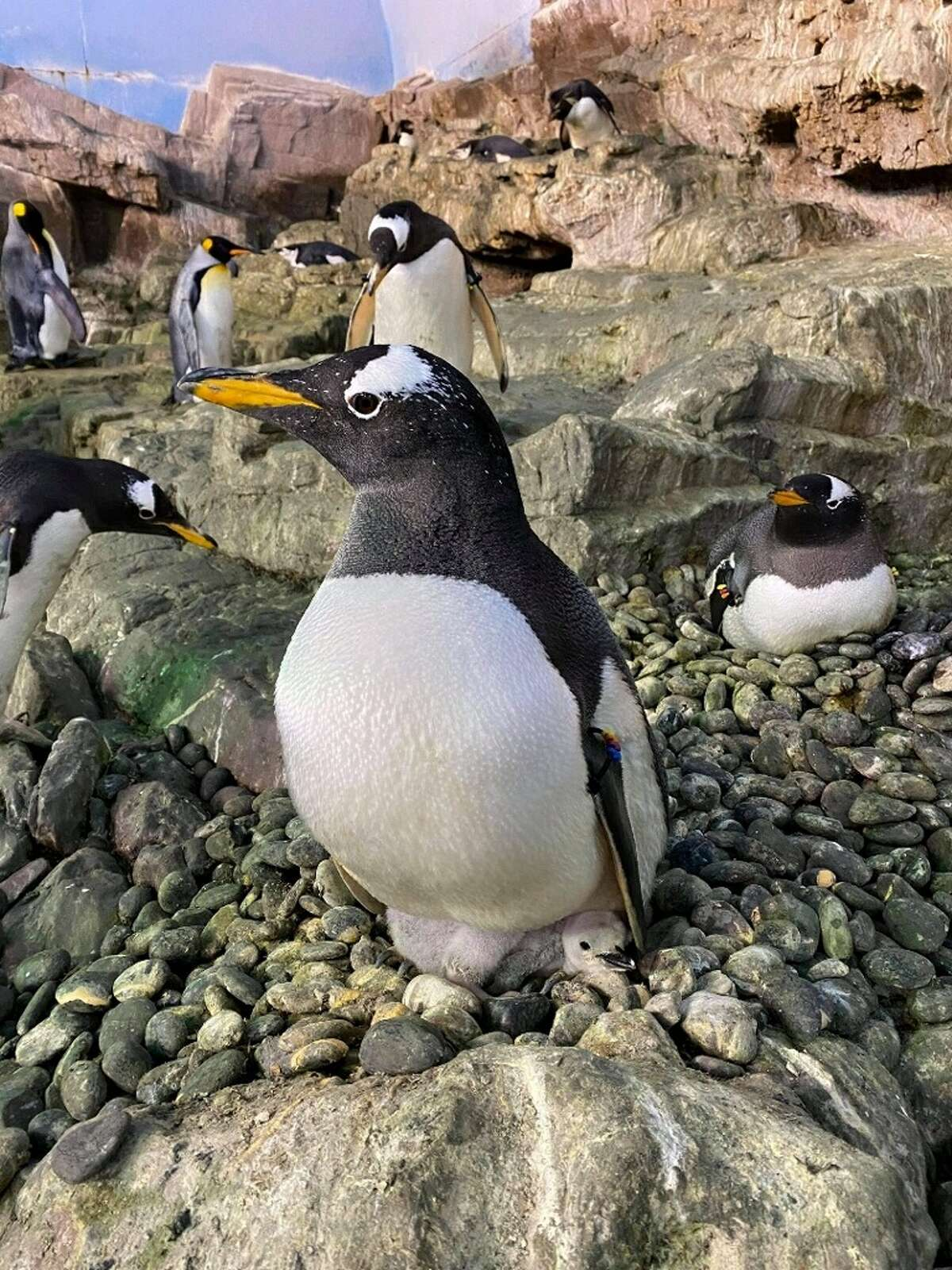 The two Gentoo penguins were given their own Chinstrap penguin egg during the last breeding season because the biological parents' nest was in a high traffic area for the larger King penguins, and officials were afraid the egg would be crushed or exposed to the cold.