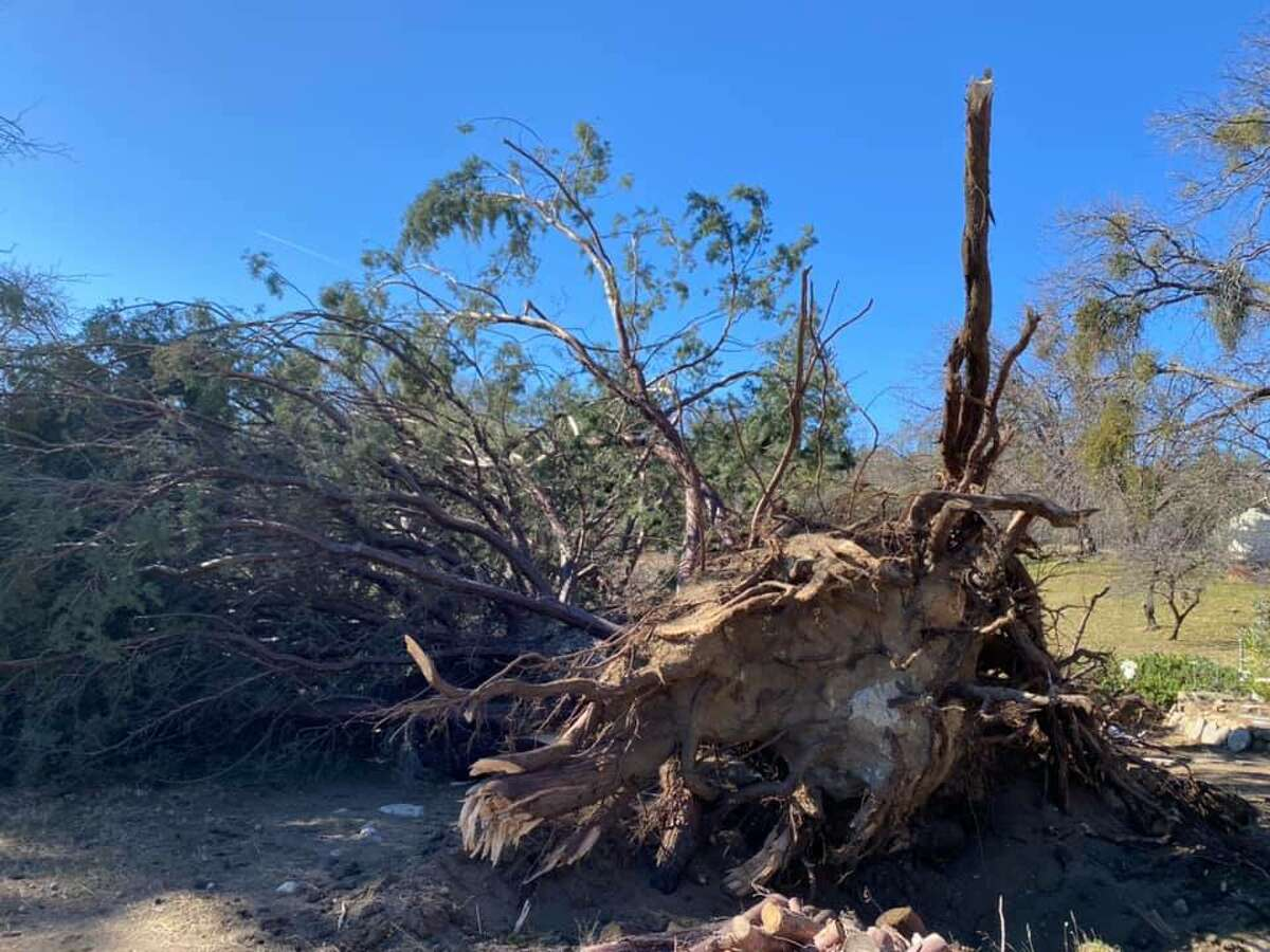 A juniper tree was uprooted in Wawona, Calif., within Yosemite National Park, amid high winds Jan. 18-19.