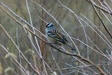 A white-crowned sparrow as photographed from NGRREC's green roof.