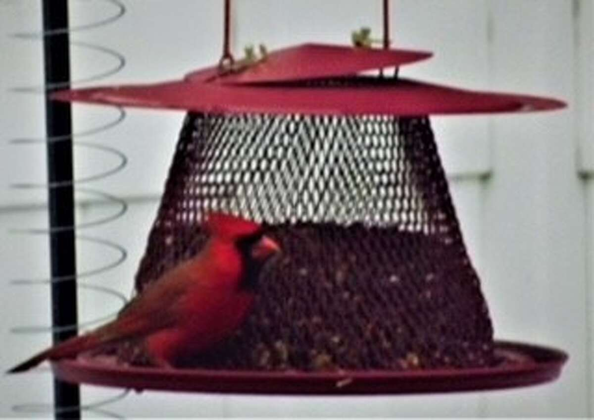 Here's a picture of a cardinal that visited us on Christmas morning. Dennis Norton, Colonie