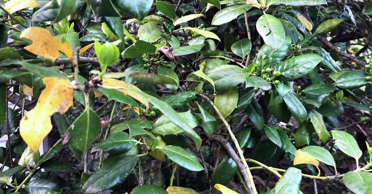 This is what it looks like when old leaves on a Nellie R. Stevens holly are getting ready to shed. This is normal.