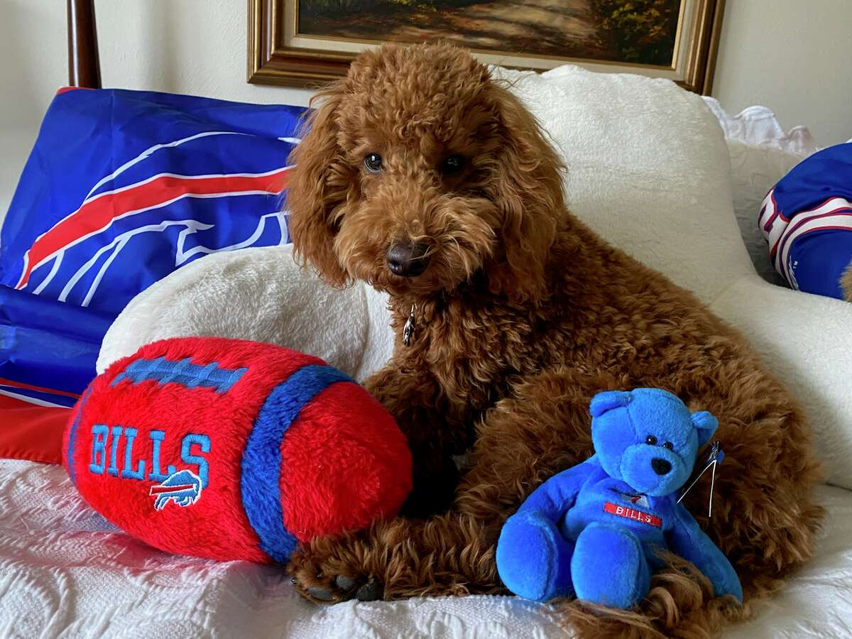 Our 7 month old mini Golden Doodle is a Western New York transplant.  As such he is a huge Buffalo Bills fan.  Here is Teddy with  his