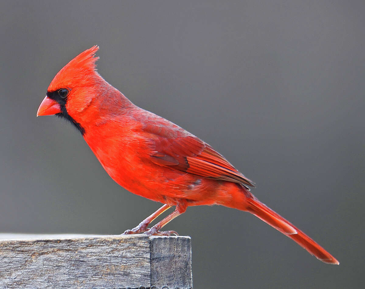 I took this picture of a Cardinal at a platform bird feeder at Five Rivers. David Handy
