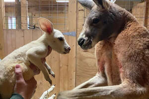 Animal Adventure Park's new baby kangaroo is an incredibly rare white joey named Cosmo.