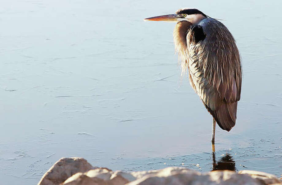 A blue heron was using only one leg to stand on Wednesday in shallow waters of the Riverlands Migratory Bird Sanctuary.