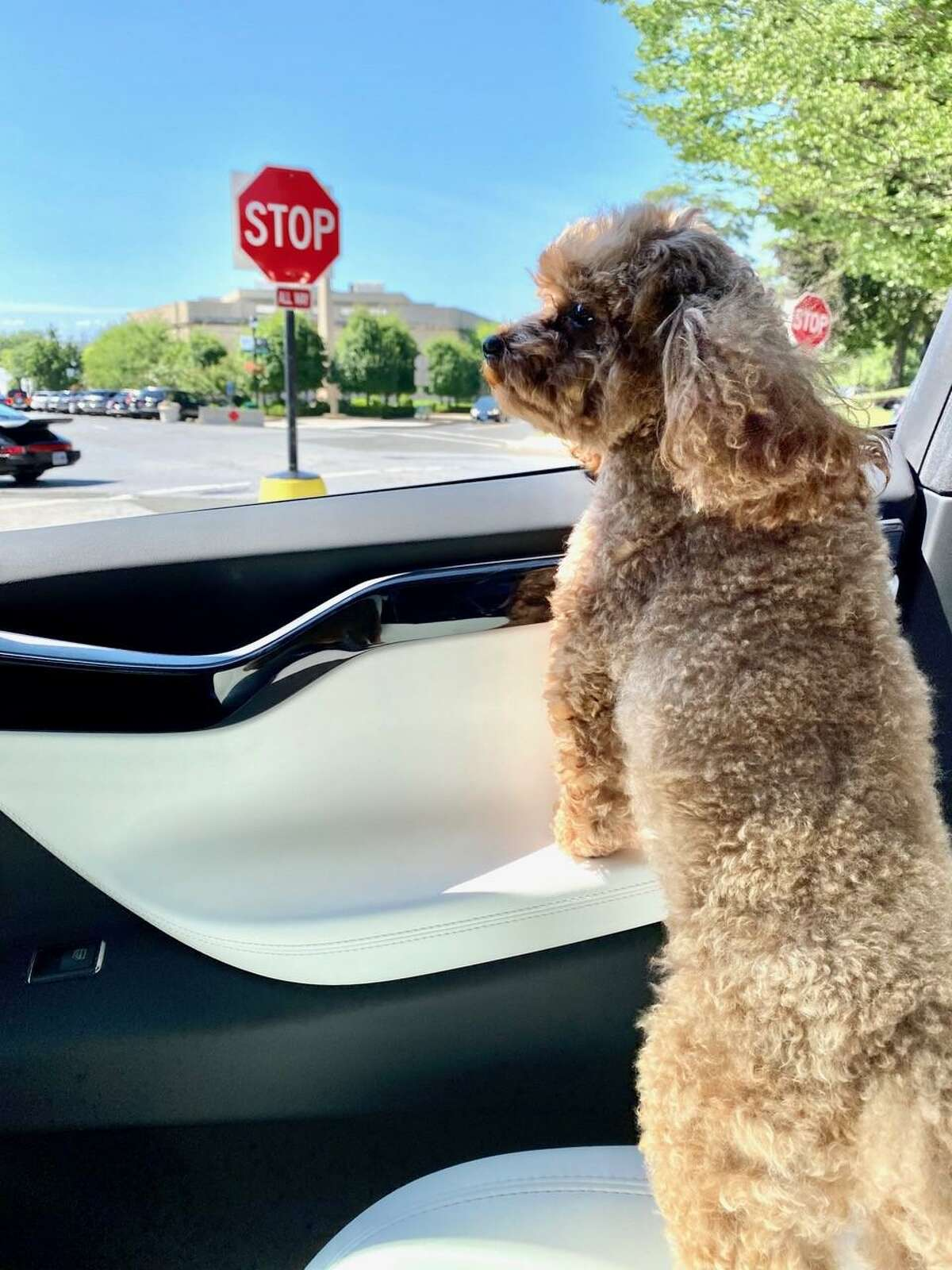 Harley, a four-year-old toy poodle. Her owner, Orna Gusinski of Greenwich, said the dog was killed Thursday night, and suspects a coyote was to blame.