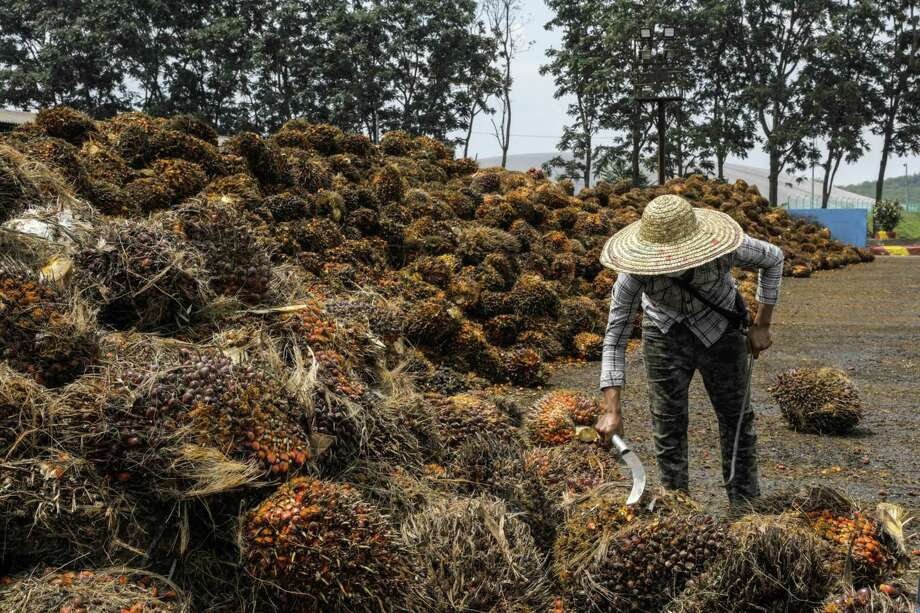 A worker inspects palm oil fruit bunches at the IOI Corp. Gomali palm oil estate in Gemas, Malaysia, on June 10, 2020. Photo: Bloomberg Photo By Joshua Paul. / © 2020 Bloomberg Finance LP