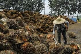 A worker inspects palm oil fruit bunches at the IOI Corp. Gomali palm oil estate in Gemas, Malaysia, on June 10, 2020.