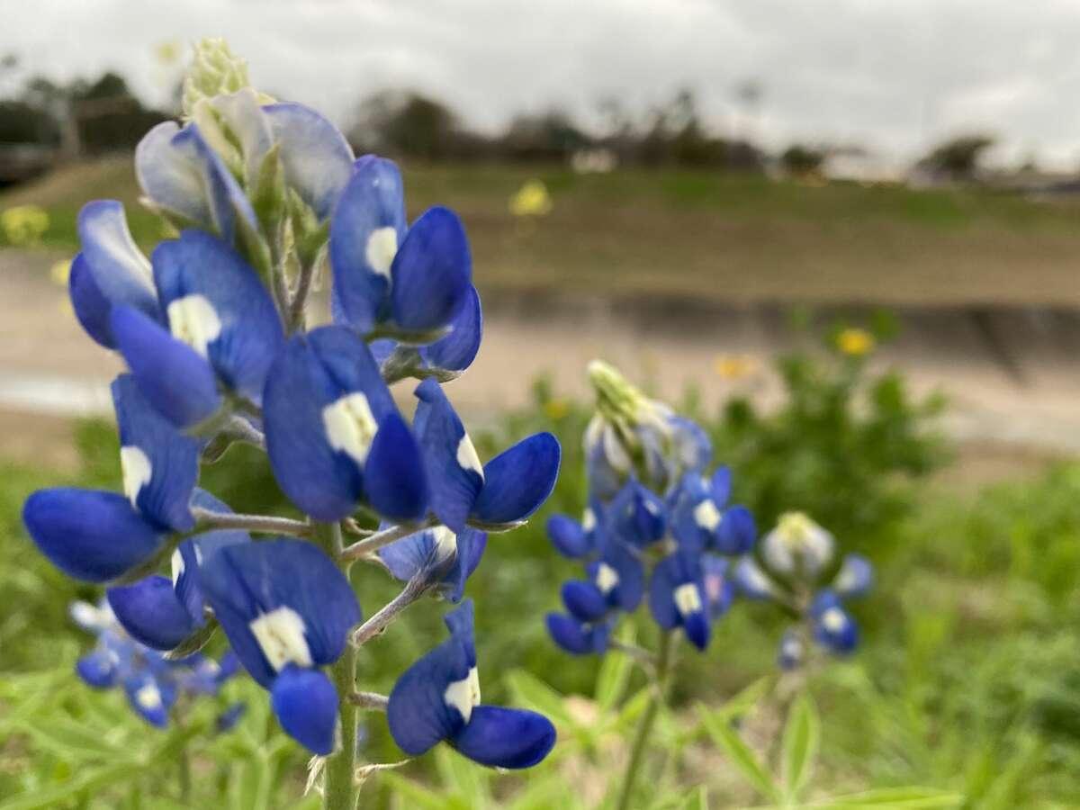 There were only about a dozen bluebonnets along White Oak Bayou on Sunday afternoon.