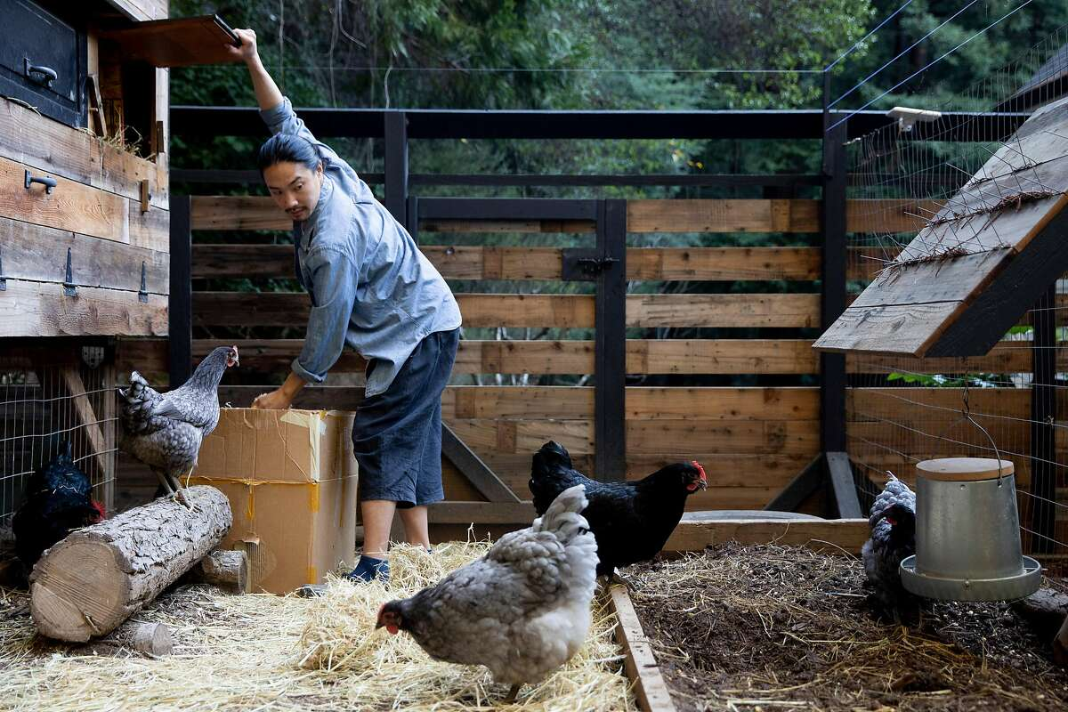 Adrian Chang works to clean out the chicken coop and feed them breakfast at his home in Occidental, Calif. Monday, January 18, 2021.