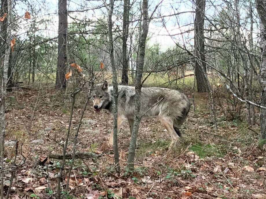 A wolf is pictured in the wild. The estimated wolf population in Michigan's Upper Peninsula grew from 20 in 1992, to 695 in 2020. (Michigan DNR Wildlife Division)