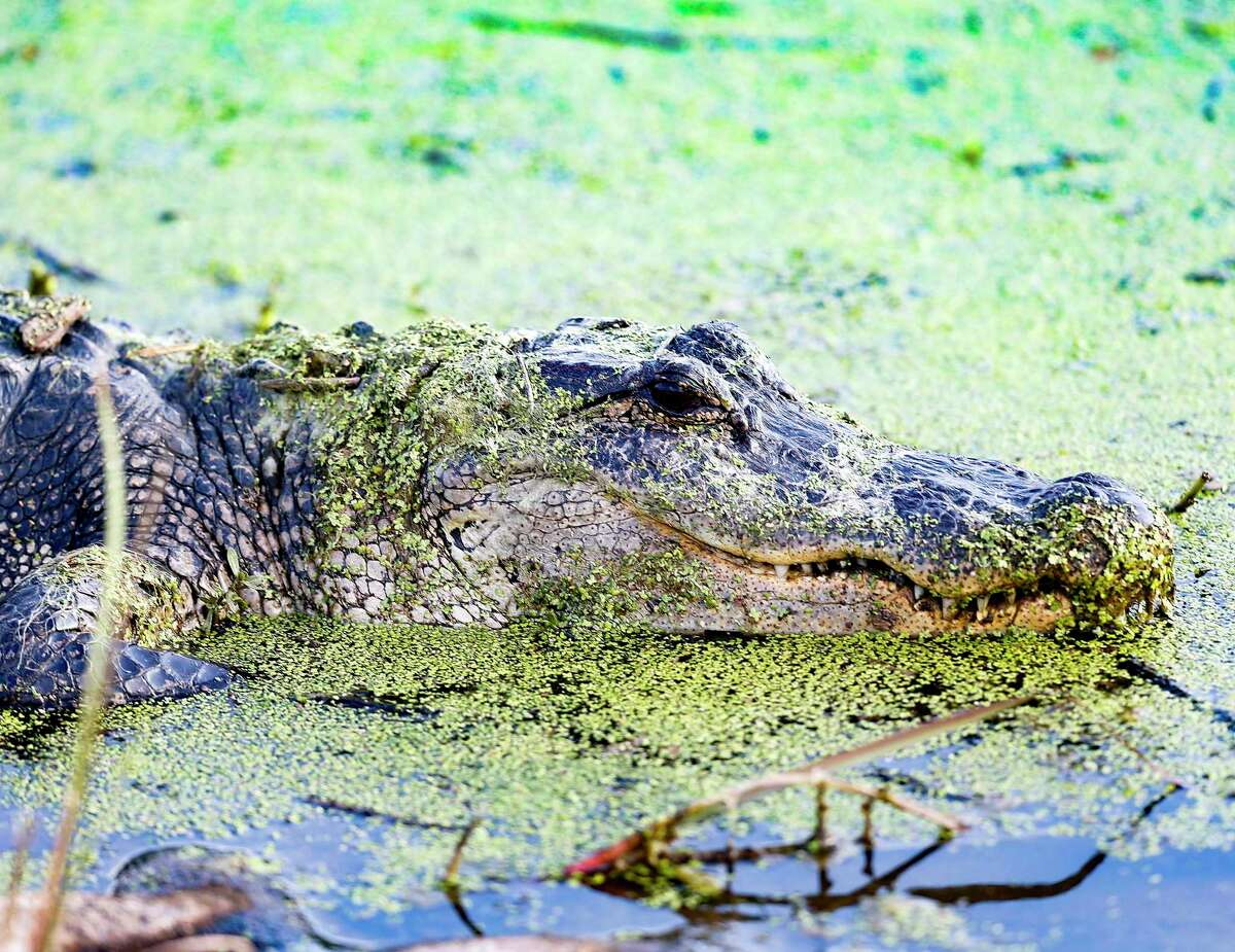 An American alligator lays in shallow water near the trail at Brazos Bend State Park in Needville. American gators do inhabit the Texas Gulf Coast and the eastern side of the state.