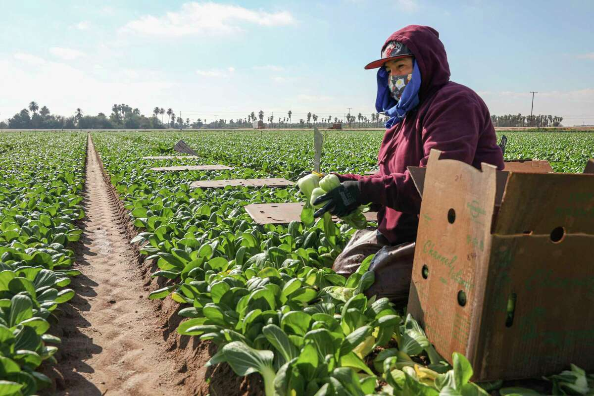 Farmworkers pick bok choy in a field on January 22, 2021 in Calexico, California. President Joe Biden has unveiled an immigration reform proposal offering an eight-year path to citizenship for some 11 million immigrants in the U.S. illegally as well as green cards to upwards of a million DACA recipients and temporary protected status to farmworkers already in the United States.