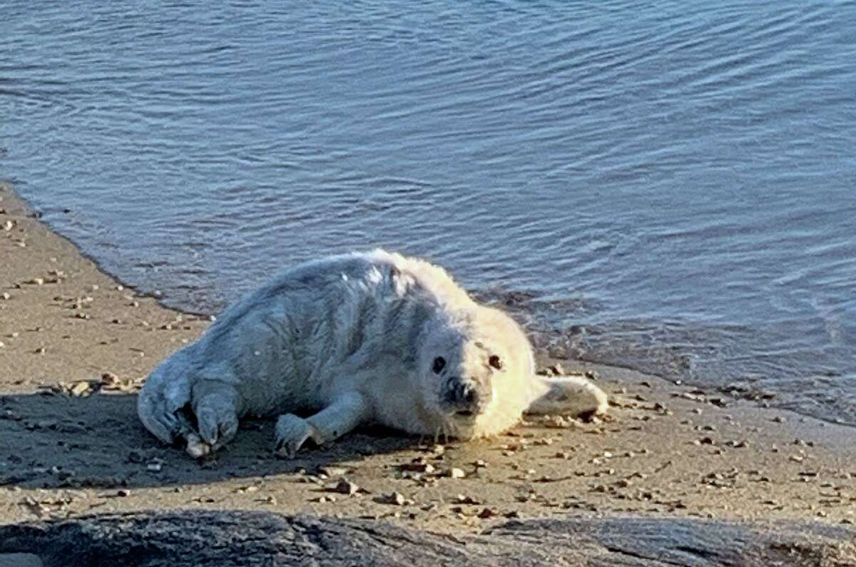 The male gray seal pup was found stranded on the shores of Mason's Island in Stonington, Conn., at the mouth of Mystic River on Jan. 23, 2021.