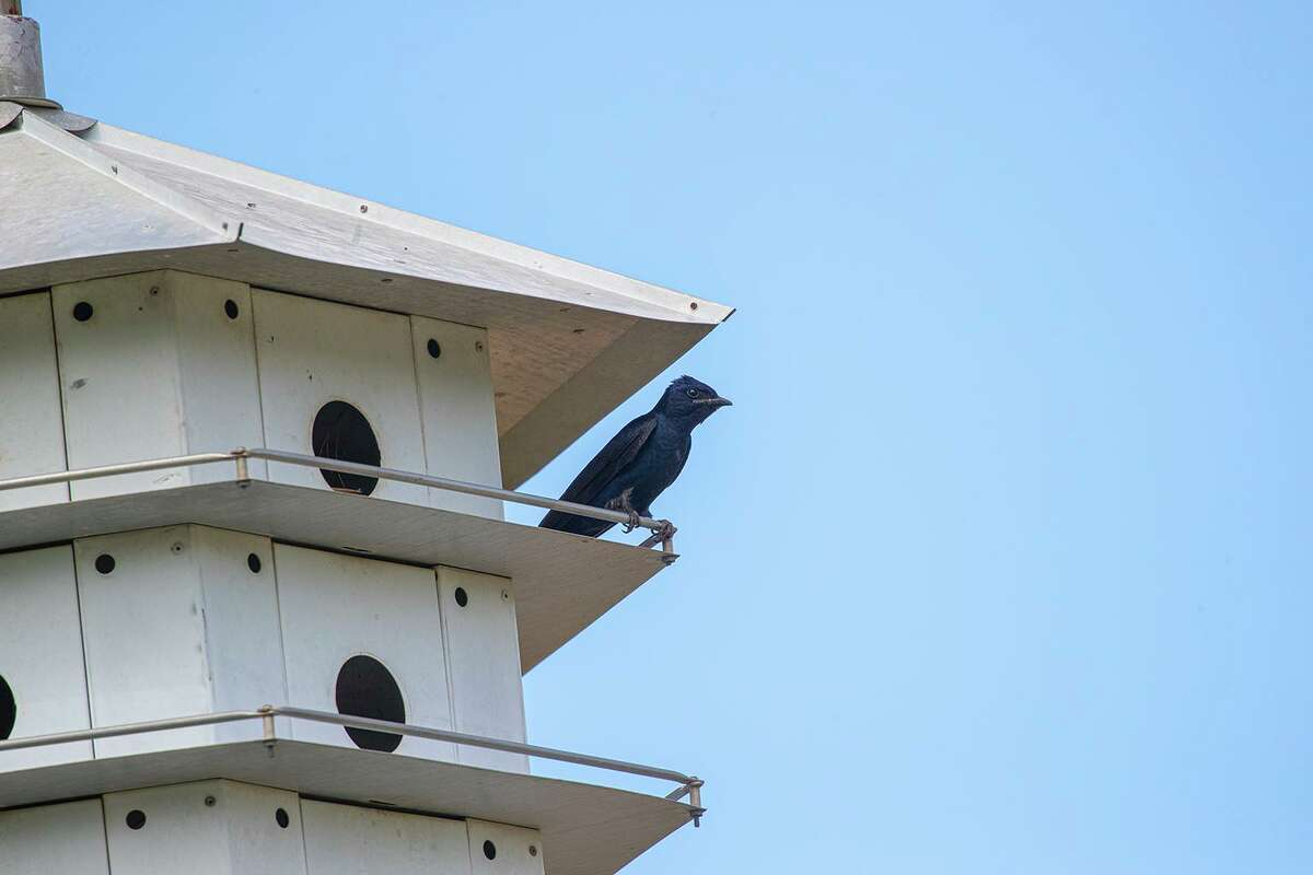 Purple martins have historically nested around humans. Purple martin males are on the way to find summer homes for their breeding colony.