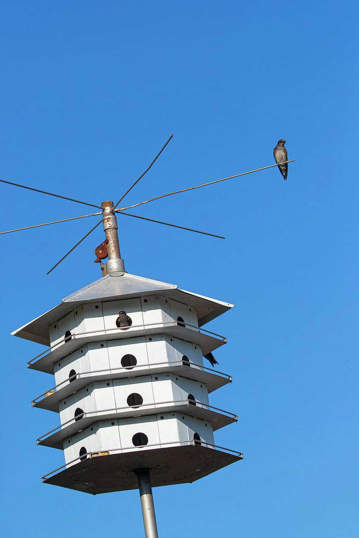 Purple martins are starting to arrive in our area for the summer breeding season. They will build their nests in manmade houses or gourds. Photo