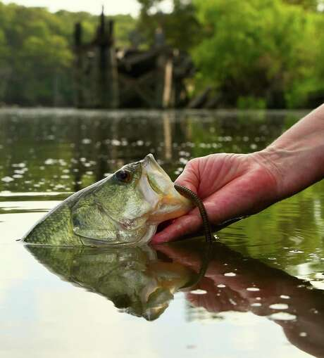 Texas' million-plus largemouth bass anglers will see changes simplifying and liberalizing harvest of bass in more than a dozen reservoirs, including opening two previously catch-and-release-only fisheries to limited take of the state's most popular game fish.