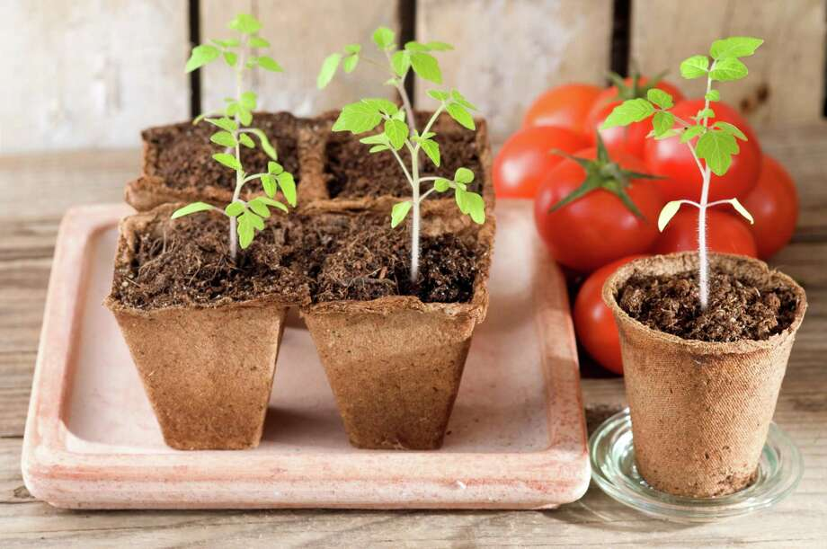 Many avid gardeners like to start their own transplants from seed. You need about 5-6 weeks to grow an adequate size transplant. So, the key is to back up from the prime planting time for transplanting. Transplanting usually occurs in March through about mid-April. Photo: Pixelelfe, Contributor / IStock / Getty Images Plus / Petra Schüller